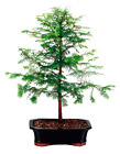 Dawn Redwood Bonsai Tree 5 years old X Large Outdoor Live Plant Great Gift Idea