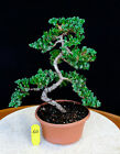 Japanese fruiting flowering twisted pomegranate specimen  40A