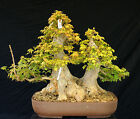 Bonsai Tree Specimen Imported from Japan Trident Maple TMSTQ453 509