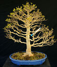 Bonsai Tree Specimen Imported from Japan Trident Maple TMSTQ368 509