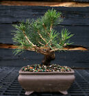 Bonsai Tree Japanese Black Pine JBP 1027C