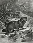 Black Footed Ferrets Hunting Birds Large 1880s Antique Print