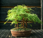 Bonsai Tree Dawn Redwood Grove DRG5 1124D