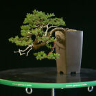 Bonsai Tree Pro Nana Juniper Pacific Blue Cascade GMJC 1208