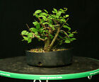 Bonsai Tree Collected Siberian Elm CSE 701A