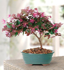Fringe Flower Outdoor Bonsai 3 years old fragrant pink flowers in 8 container