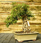 Bonsai Tree Exposed Root Satsuki Azalea Nikko Specimen SANST 915A