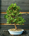 Bonsai Tree Hinoki Cypress HC 1215A