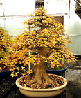 Bonsai Tree Specimen Imported from Japan Trident Maple TMSTQ318 509C