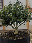 Soft Touch Japanese Holly Pre Bonsai Tree Illex crenata soft touch