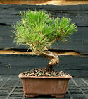 Bonsai Tree Japanese Black Pine JBP 1215E