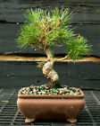Bonsai Tree Japanese Black Pine JBP 1215G