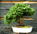 Bonsai Specimen Tree Hinoki Cypress HCST 1215