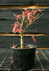 Pre Bonsai Tree Japanese Maple Sharpes Pygmy JMSP1G 1124G