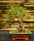 Bonsai Tree Exposed Root Satsuki Azalea Kinsai Specimen SAKST 508E