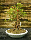 Bonsai Tree Exposed Root Satsuki Azalea Kinsai Specimen SAKST 424C