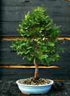 Bonsai Tree Hinoki Cypress HC 1215B