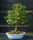 Bonsai Tree Hinoki Cypress HC 123B