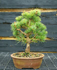Bonsai Tree Five Needle White Pine WP 201A