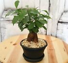 Costa Farms 6 Ficus Bonsai in Plastic Container Pot Great Houseplant Gift Idea