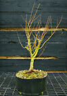 Pre Bonsai Tree Japanese Maple Kotohime KHM3G 201B