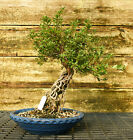 Bonsai Tree Exposed Root Satsuki Azalea Kinsai Specimen SAKST 915B