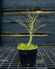 Pre Bonsai Tree Japanese Maple Sharpes Pygmy JMSP1G 220C