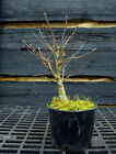 Pre Bonsai Tree Japanese Maple Sharpes Pygmy JMSP1G 220E