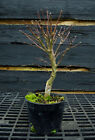 Pre Bonsai Tree Japanese Maple Sharpes Pygmy JMSP1G 220F