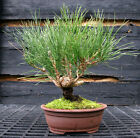 Bonsai Tree Japanese Black Pine JBP 1027B
