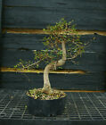 Bonsai Tree Chinese Elm CE12 201C