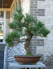 Bonsai Tree Specimen Japanese Black Pine by Mauro Stemberger JBPST 1229C