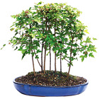 Trident Maple Forest 3 years old Outdoor 7 Bonsai Tree X Large 12 container