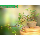 Bonsai Jasmine Live Plant Flowering Tree Indoor Apartment Home Office HousePlant