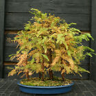 Bonsai Tree Dawn Redwood Grove DRG7 1103A