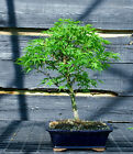 Bonsai Tree Japanese Maple Sharpes Pygmy JMSP 509D