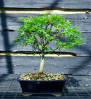 Bonsai Tree Japanese Maple Sharpes Pygmy JMSP 509E