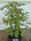 Green Japanese Maple Pre Bonsai 4 Years Old Grown from seeds 11 inches tall