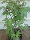 Green Japanese Maple Pre Bonsai 4 Years Old Grown from seeds 10 inches tall
