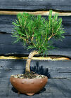 Bonsai Tree Japanese Black Pine JBP 509F