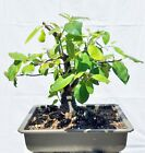 Chinese Quince Bonsai Tree