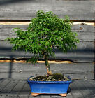 Bonsai Tree Japanese Maple Sharpes Pygmy JMSP 807B