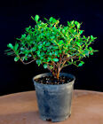 Japanese Satsuki Azalea Tama No Hada 6 Pre Bonsai White+Coral Stripe Flower