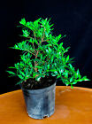 Dwarf Gardenia Radicans 6 Pre Bonsai Tree White Flowers  Sweet Fragrance