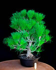 Japanese black pine  Mikawa  specimen bonsai tree  63