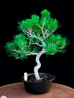 Japanese black pine  Mikawa  specimen bonsai tree  85