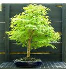 Bonsai Tree Japanese Maple Arakawa Corkbark Specimen JMAST 918B