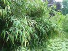 1 - Plant Umbrella Bamboo Plant, Fargesa spathacea 'Franch' - Clumping