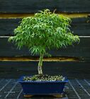 Bonsai Tree Japanese Maple Sharpes Pygmy JMSP 919B