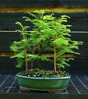 Bonsai Tree Dawn Redwood Grove DRG5 724C